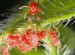 Araignee Rouges