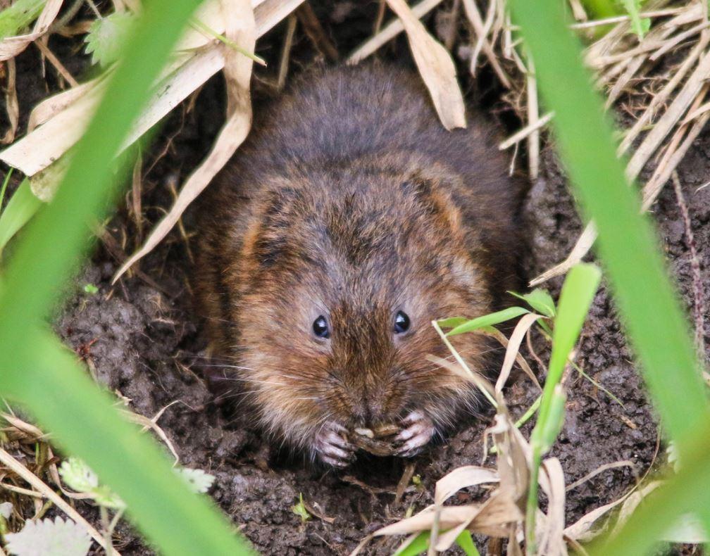 Campagnol Rat Taupier