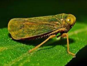 Cicadelle Sur Rosier