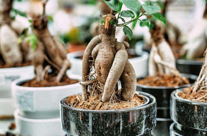 Microcarpa ficus ginseng dans le style bonsaï