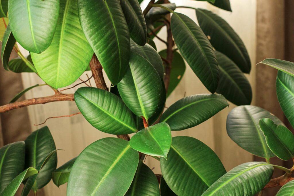 gros plan sur les feuilles de caoutchouc ficus elastica
