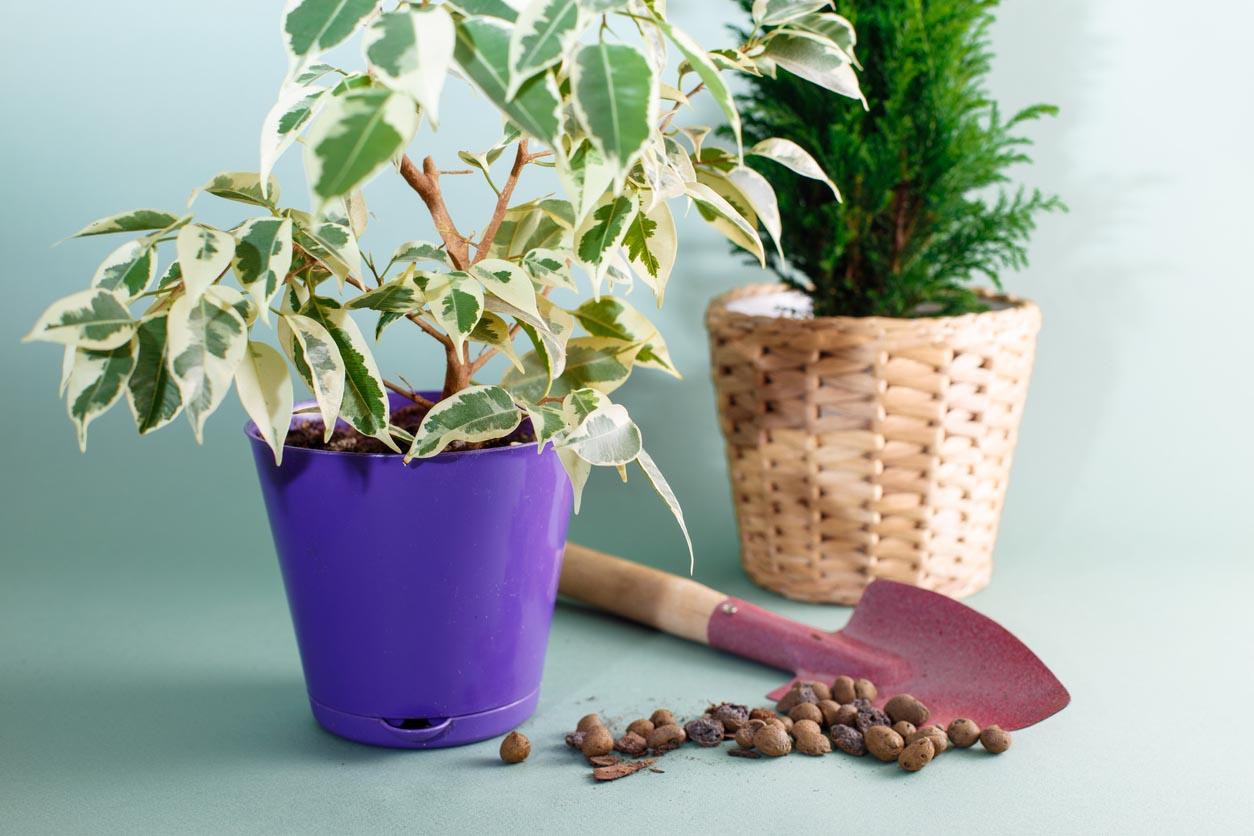 rempotage du Ficus benjamina