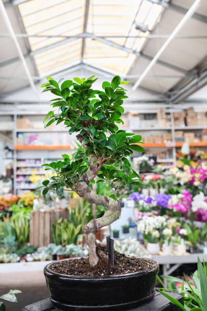 Ficus Bonsai Ginseng arbre dans un magasin de plante