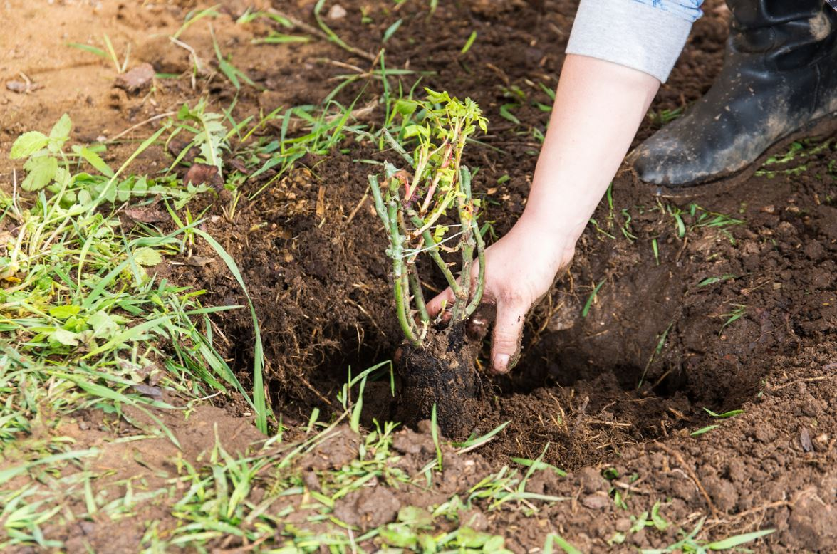 Planter Rosier