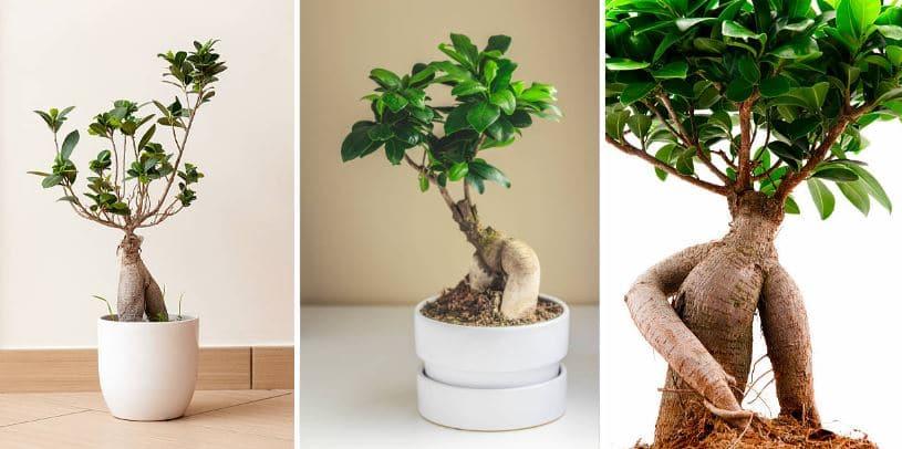Trois Varietes De Ficus Ginseng