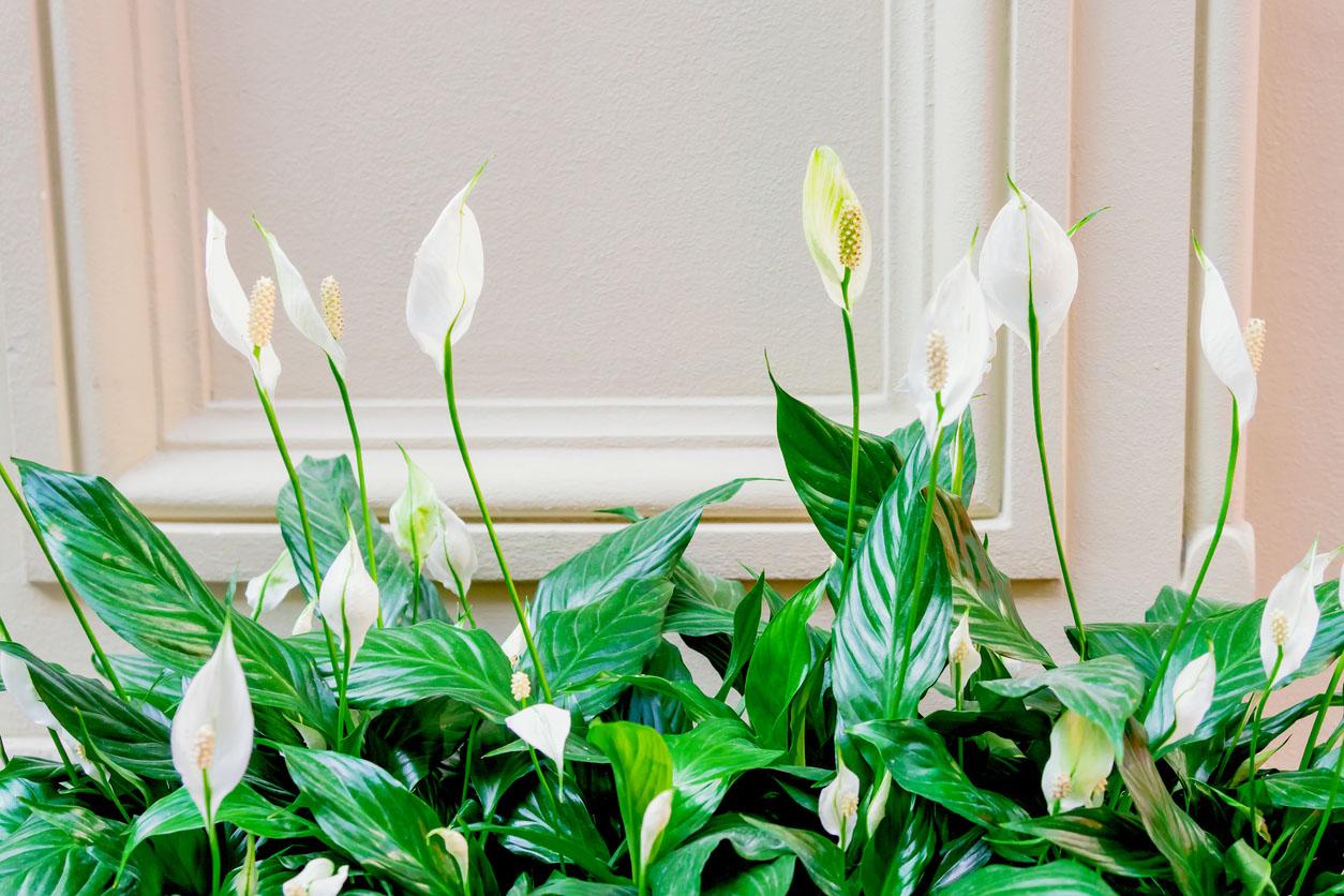 Spathiphyllum en jardinière