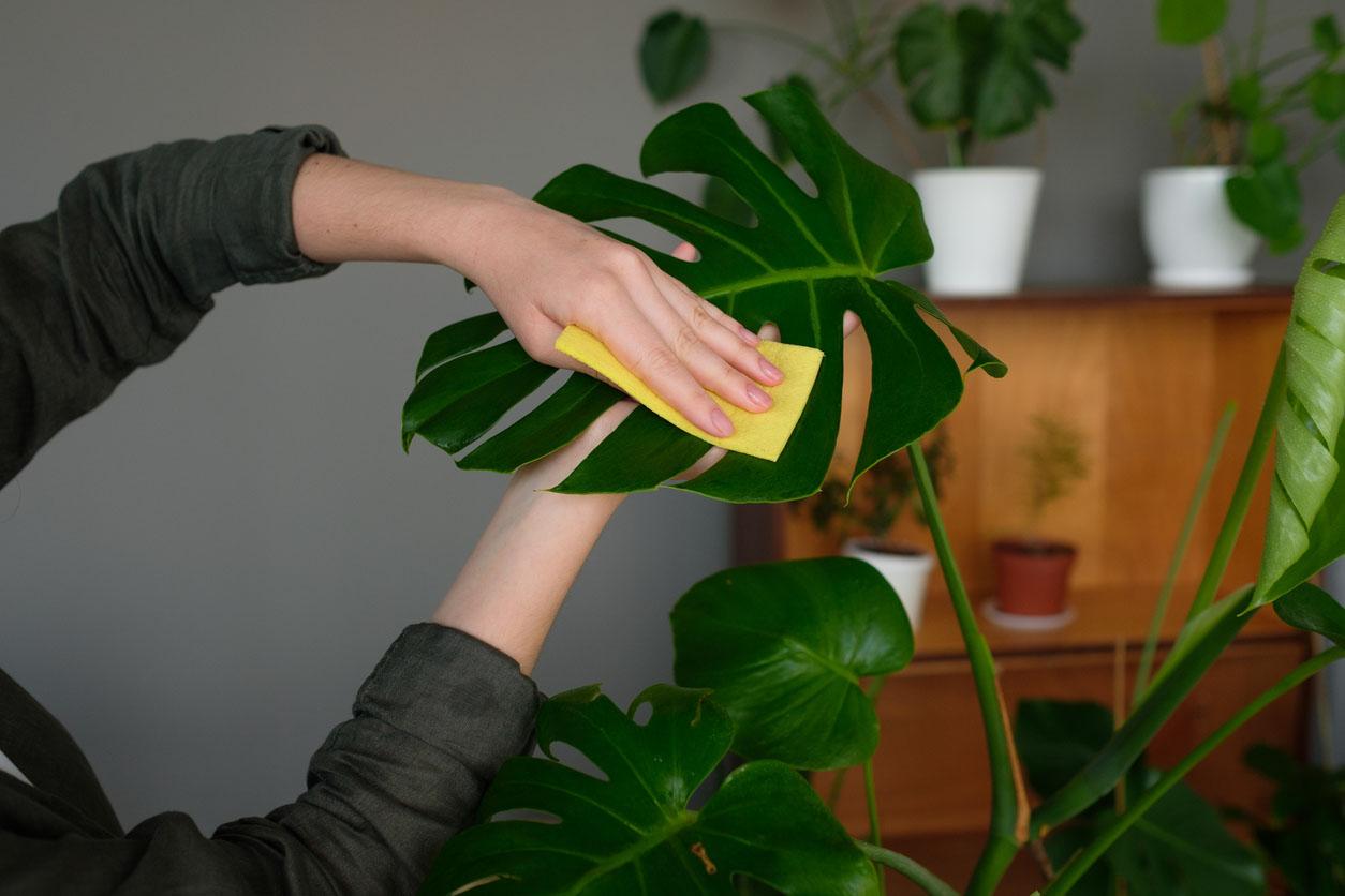 femme nettoie les feuilles de monstera