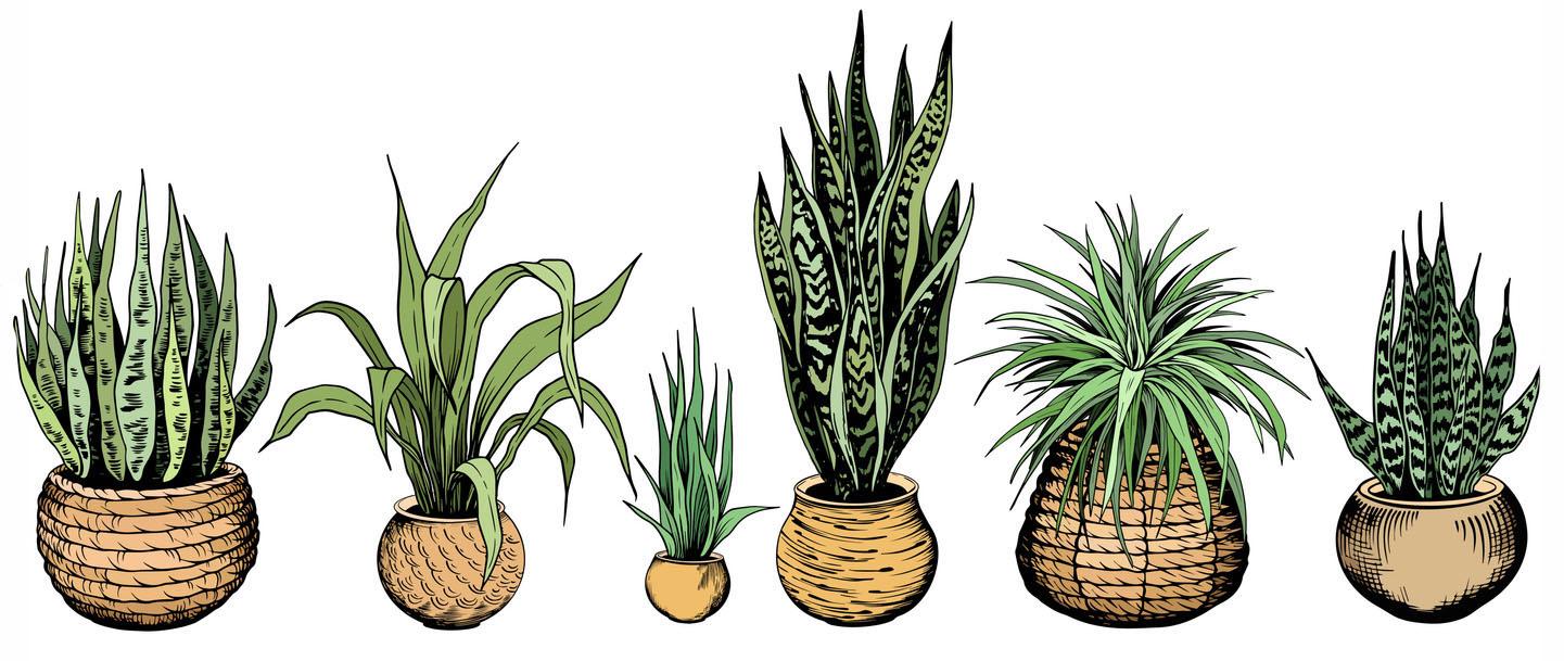 6 diiférentes variétés de sansevieria