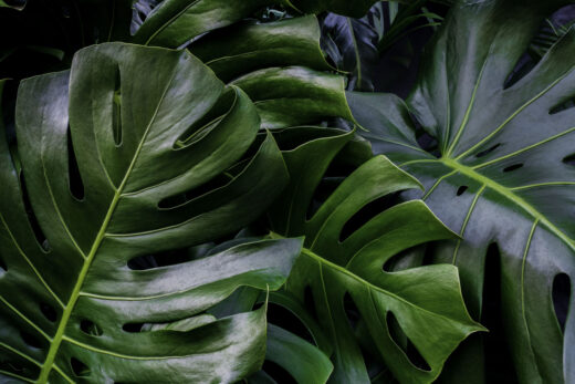 gros plan sur les feuilles de monstera
