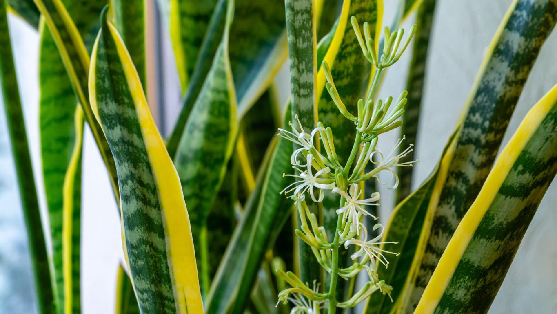 fleur de Sansevieria trifasciata 'Laurentii'