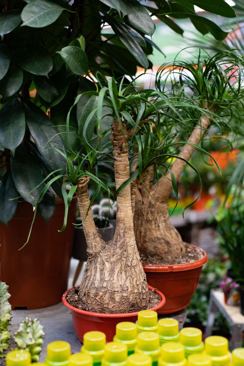 Beaucarnea, Plante ornementale en pot de pide d'éléphant dans un magasin de fleurs