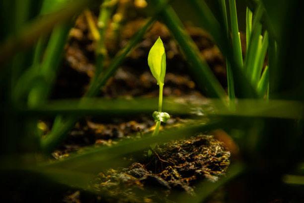 Spathiphyllum qui sort de terre