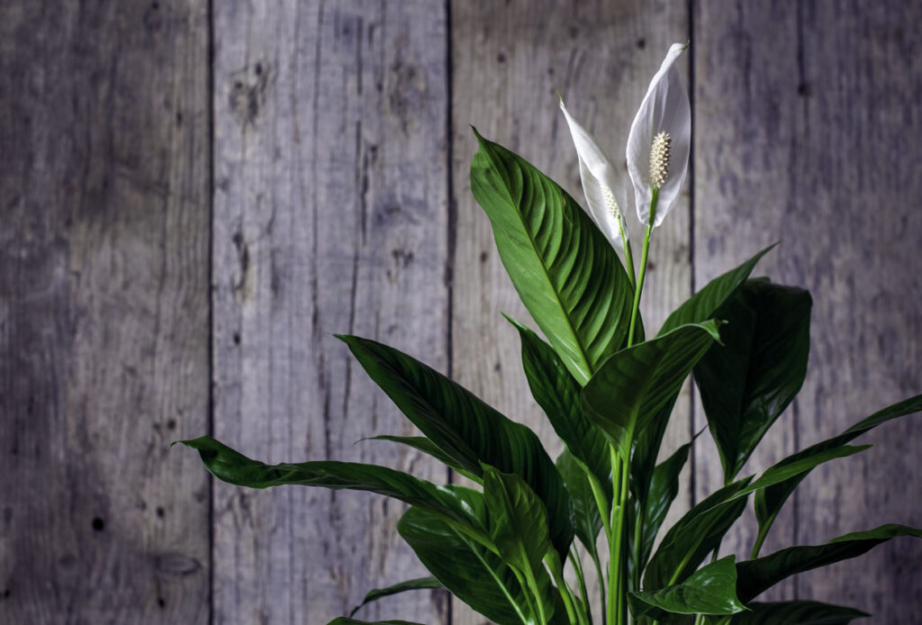 Spathiphyllum, Faux Arum, Voile Blanche