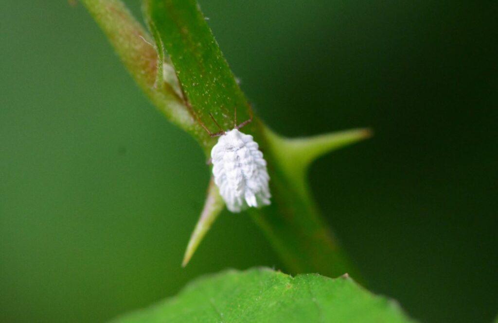 Cochenille Plante