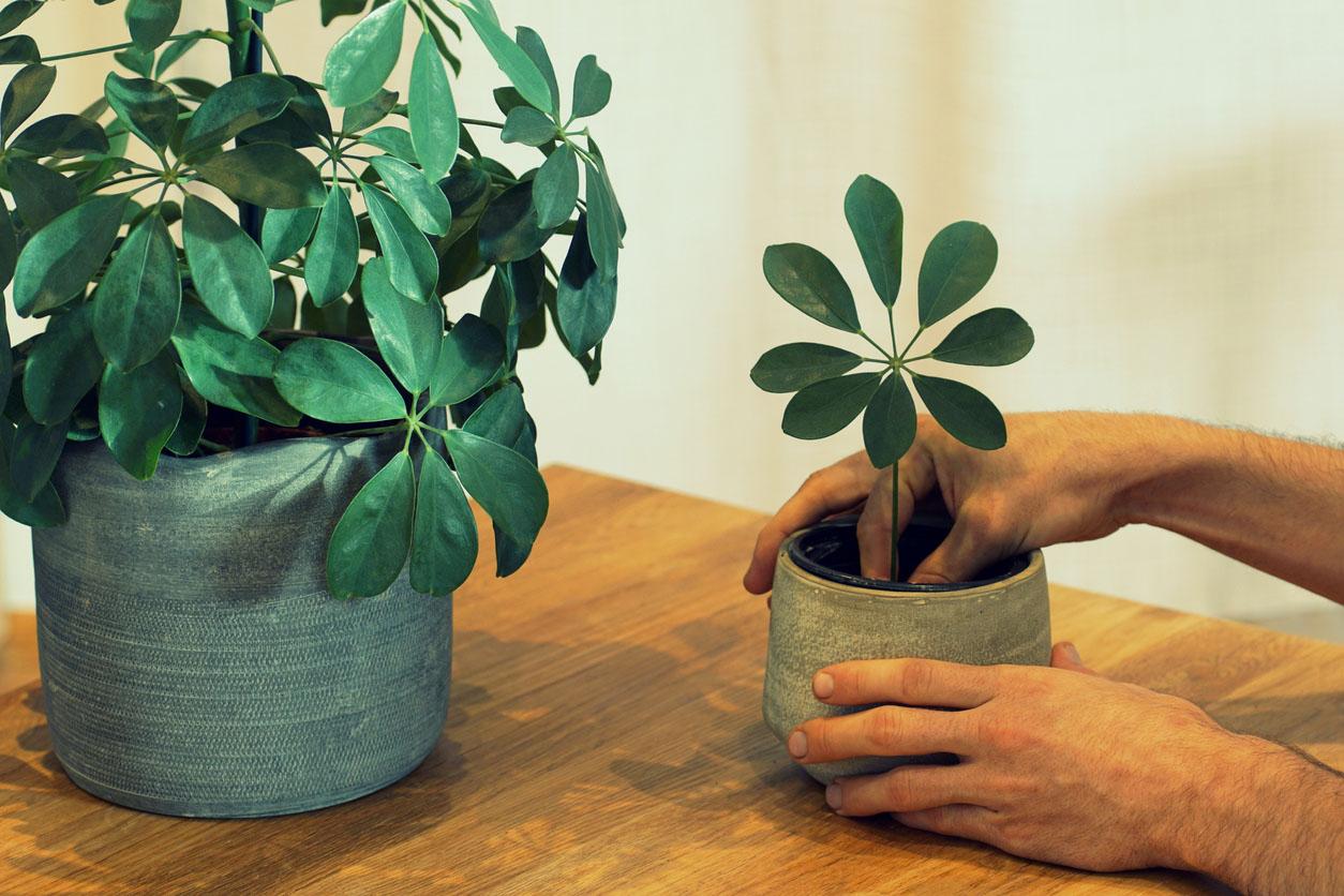 Plantation d'une plante tropicale (schefflera)