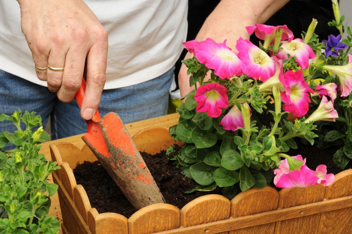 Planter Géraniums En Jardinière