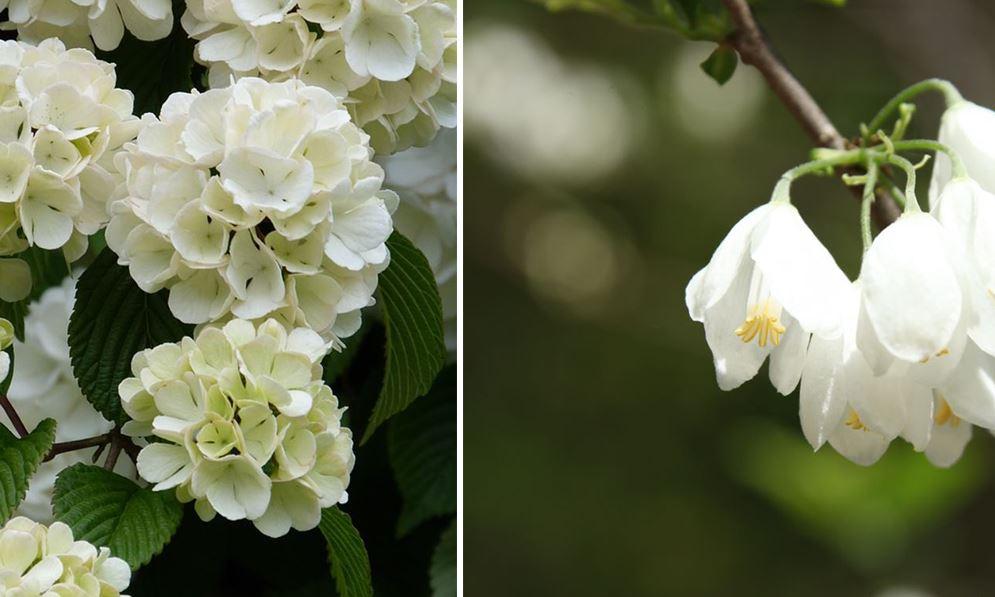 Arbres A Fleurs Blanches