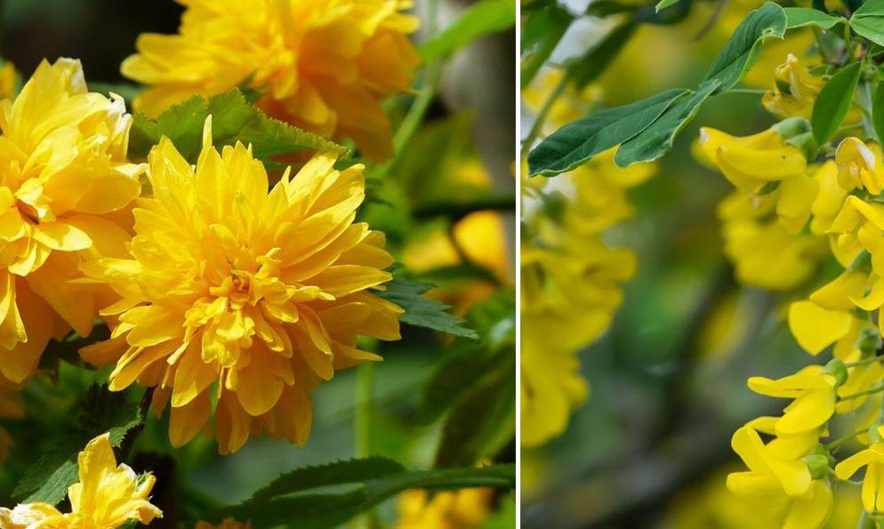 Arbres A Fleurs Jaunes