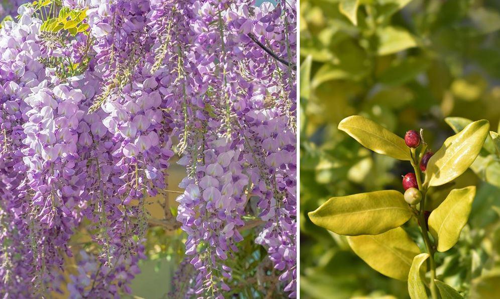 Plantes Odorantes