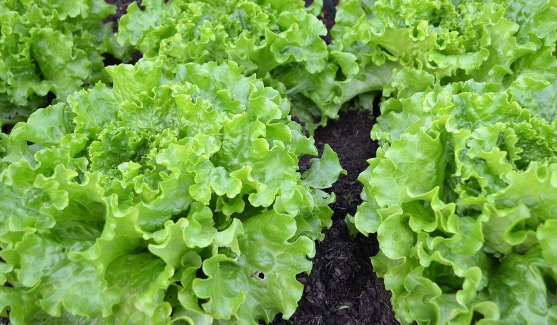 Salade Potager