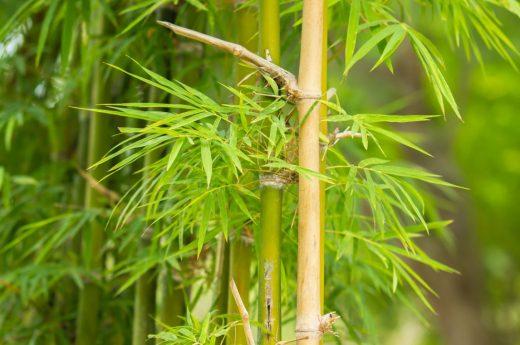Bambou Jardin
