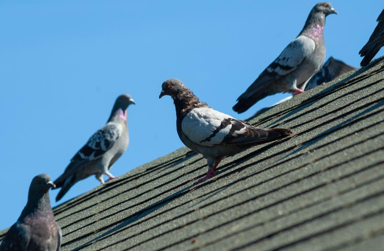 Pigeons Sur Le Toit
