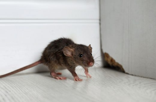 Rat Dans La Maison