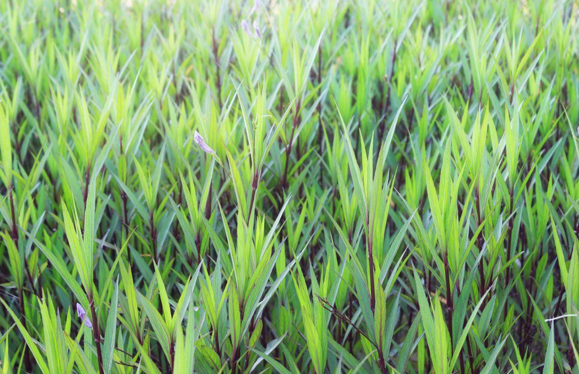 1. Bambou Nain