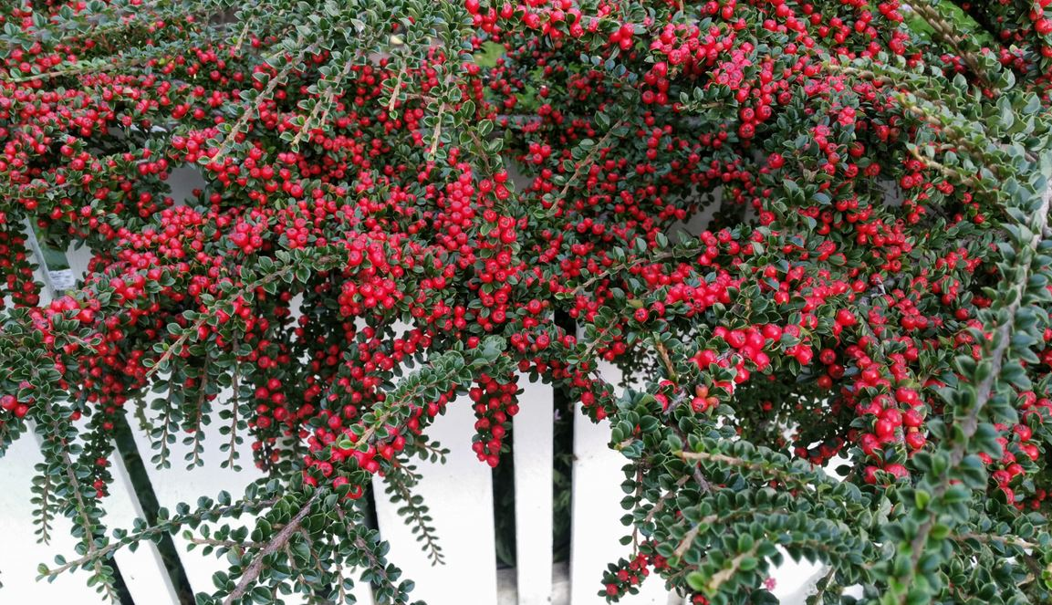 6. Cotoneaster