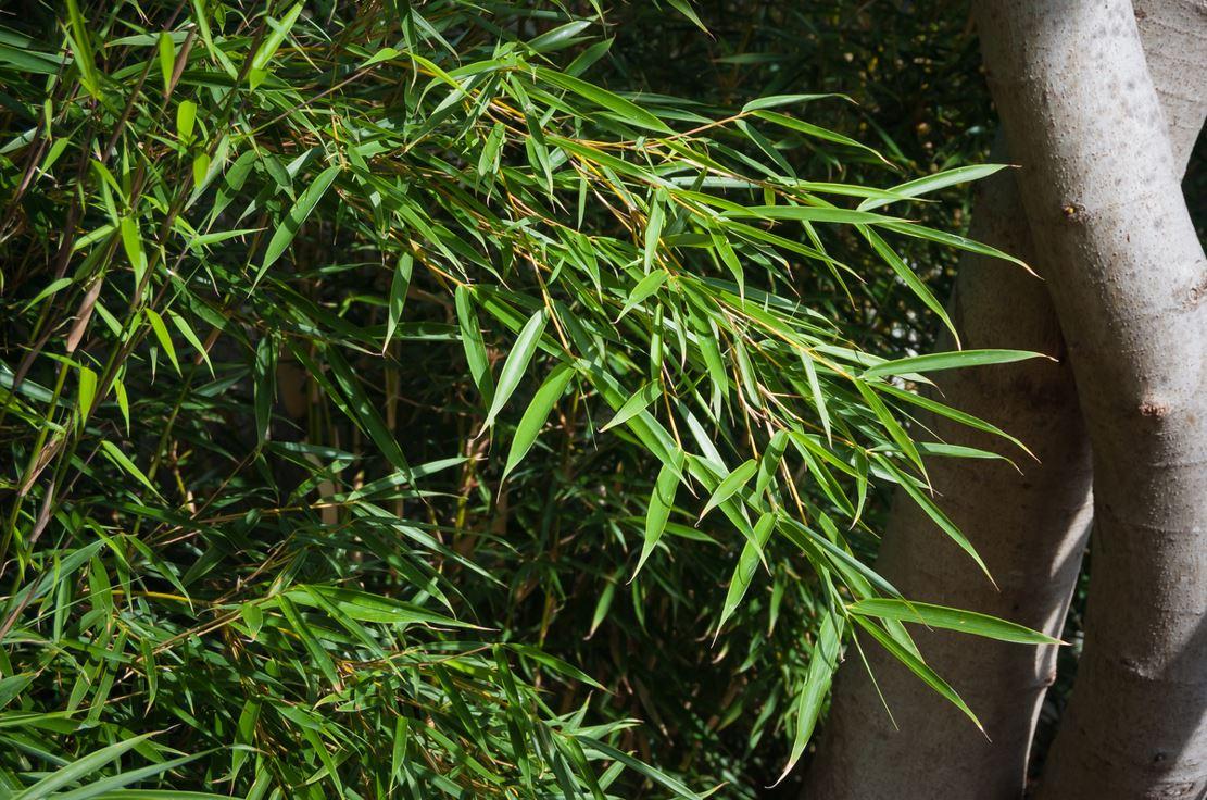 Bambou Fargesia Robusta